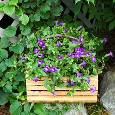 container garden picture of flowering torenia or wishbone plant - Photo © Kerry Michaels