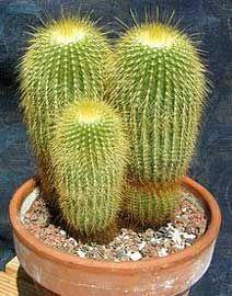 Parodia leninghausii (old name: Notocactus leninghausii) Cacti And Succulents, Planting Succulents, Cactus Plants, Echeveria, Cactus Names, Natural Form Art, Beautiful Home Gardens, Beautiful Nature Pictures, Plant Catalogs