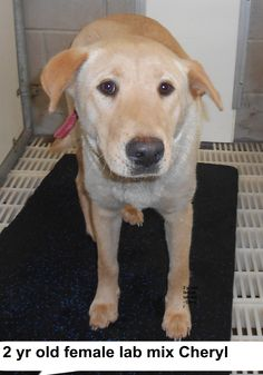 ***SUPER SUPER URGENT!!!*** - PLEASE SAVE CHERYL!! - EU DATE: 3/24/2015 -- Cheryl Breed:Yellow Labrador Retriever Age: Adult Gender: Female Size: Medium Special needs: hasShots, Location: Elizabethtown, NC Read more at http://www.dogsindanger.com/dog/1426814123425#r2hecVkCglm13VPw.99 - About Cheryl: Cheryl is a yellow lab girl 2 yrs old. Please help us get her out of the shelter. The shelter is FULL, Please don't leave her there. . Call Silvia and Debbie now,,,,,Silvia is 910-876-0539 and…