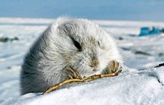 'Sopuli' - Arctic Lemming - They live in Lapland, tunnels under the ground and live in colonies. During the summer their fur is brown while in the winter its white. Arctic Lemming, Arctic Blast, National Geographic Kids, Arctic Animals, America And Canada, Animals Images, Science And Nature, Predator, Mammals