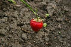 Whether your strawberries have overgrown their pot, or your ready to move them from outside to in or inside to out, transplanting strawberry seedlings and existing strawberry plants is a fairly simple process.