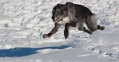 foxcliffe deerhounds - Google Search
