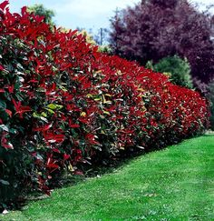 Plant of the Week: Red Tip Photinia – VODA Landscape + Planning Privacy Plants, Privacy Landscaping, Fence Plants, Border Plants, Front Yard Landscaping, Privacy Hedge, Landscaping Ideas, Privacy Trees, Yard Privacy