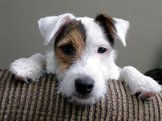 parson jack russell terrier - Same pose as our boy Jackson in the lawn chair picture, so cute. Chien Jack Russel, Parson Jack Russell, Jack Russell Puppies, Jack Russell Terriers, Parson Russell Terrier, Pet Dogs, Dogs And Puppies, Dog Cat, Maltese Puppies