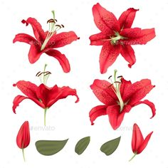 Vector Realistic Lily Flower Blossom Set - Photoshop PSD, Vector EPS