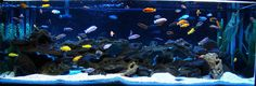 freshwater tank | 180g mbuna aquarium tank description 6x2x2 african cichlid tank ...