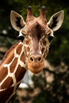 Up-close shot of a Giraffe