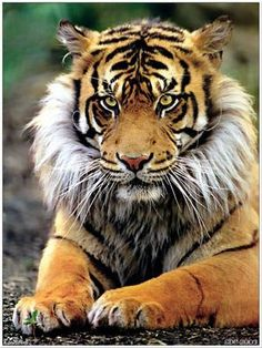 Tigron - a hybrid between a tiger and a lioness