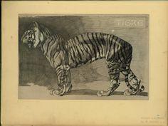 Tigre - ID: 102349 - NYPL Digital Gallery
