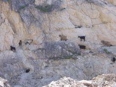 "Panoramio - Photos by bobcommander. Goats on the ""high"" coast road between Argostoli and Assos"
