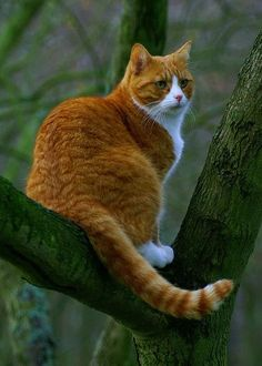CAT FACT: Cats are partially color blind. They have the equivalency of human red/green color blindness. (Reds appear green and greens appear red; or shades thereof. Orange Tabby Cats, Red Cat, Pretty Cats, Beautiful Cats, Cute Cats And Kittens, Cool Cats, Fluffy Cat Breeds, Animal Gato, Matou