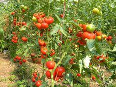 Hydroponics, Potatoes, Vegetables, Google, Gardening, Rose Trees, Plant, Lawn And Garden, Potato