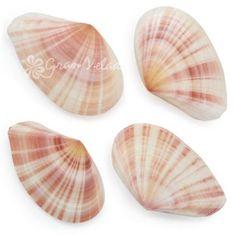 Conchas Naturales, Tellina Virgata