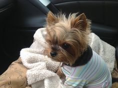 Yorkie Lola... going for coffee with the girls