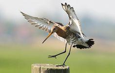 Weidevogels verder achteruit, drastische maatregelen nodig. grutto / Piet Munsterman (Saxifraga)