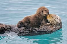 Mommy and baby otter kiss