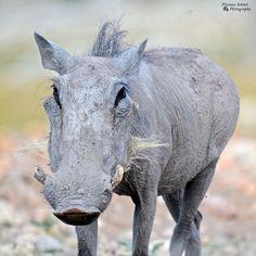 Dierenfotografie: warthog