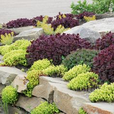 Sedum 'Firecracker' from the SunSparkler Series with Sedums 'Angelina' and 'Lime Zinger' in a rock garden!