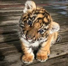 A baby tiger Ein Tigerbaby Baby Animals Super Cute, Cute Little Animals, Cute Funny Animals, Cute Cats, Cutest Animals, Big Cats, Cute Little Dogs, Baby Animals Pictures, Cute Animal Photos