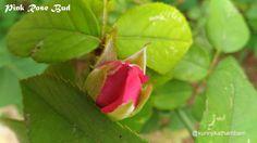 Flowers from My Cam: 6. Pink Rose Bud ~ Kurinji Kathambam
