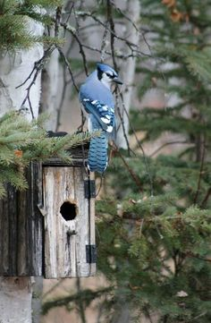 this suspiciously looks like a blue jay waiting to rob another bird's eggs. Birds And The Bees, Kinds Of Birds, All Birds, Love Birds, Pretty Birds, Beautiful Birds, Animals Beautiful, Simply Beautiful, Jay Bird