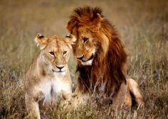 Lions in love, by John Dominis. (John Dominis—Time & Life Pictures/Getty Images)