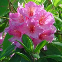 Rhododendron 'Cynosure'