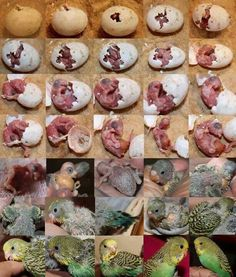Development of Parakeet. Oh, this makes me want to raise more baby budgies again! Baby Parakeets, Budgies Parrot, Parrots, Cockatiel, Cute Birds, Pretty Birds, Beautiful Birds, Cute Baby Animals, Animals And Pets