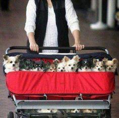 Chihuahua Daycare
