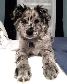 Super Cute Puppies, Cute Dogs And Puppies, Baby Dogs, I Love Dogs, Doggies, Dane Puppies, Aussie Puppies, Cute Dogs Breeds, Teacup Puppies