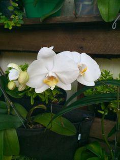Orquídeas blancas!!