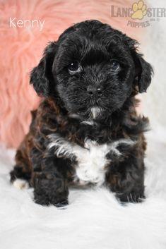 #Shorkie #Charming #PinterestPuppies #PuppiesOfPinterest #Puppy #Puppies #Pups #Pup #Funloving #Sweet #PuppyLove #Cute #Cuddly #Adorable #ForTheLoveOfADog #MansBestFriend #Animals #Dog #Pet #Pets #ChildrenFriendly #PuppyandChildren #ChildandPuppy #LancasterPuppies www.LancasterPuppies.com Animals Dog, Cute Animals, Shorkie Puppies For Sale, Mans Best Friend, Best Friends, Hugs And Cuddles, Lancaster Puppies, Adorable Puppies, Beautiful Dogs