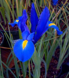 Iris - Faith, Hope, Wisdom  a little more on the purple side though.