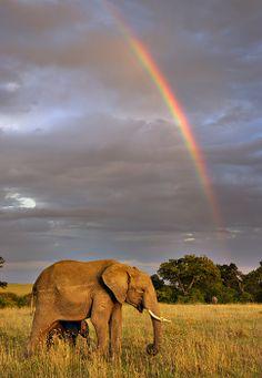 African Elephant (Loxodonta africana) with rainbow in Masai Mara National Reserve_ Kenya