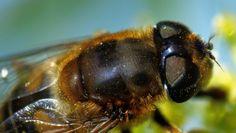#Makro einer #Biene