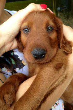 Setter puppy love