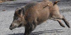Roma: catturare cinghiali e macellarli