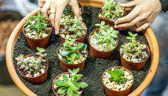 Cultura Mix, http://flores.culturamix.com/flores/naturais/reproducao-de-plantas-suculentas