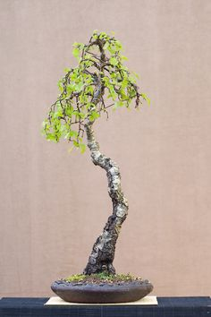 Birch bonsai. I really love the look of Bonsai trees.