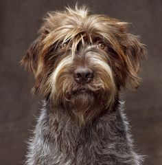 Wirehaired Pointing Griffon Dog Breed Information - American Kennel Club Pet Dogs, Dogs And Puppies, Dog Cat, Pets, Scottish Terrier, Beautiful Dogs, Animals Beautiful, Griffon Dog, German Wirehaired Pointer