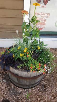 Whiskey Barrels planter.  Zinnias, yellow pantas, orange million bells, dark potato vine and white lobelia. Yellow House Landscape Design.  Bre Cotter.