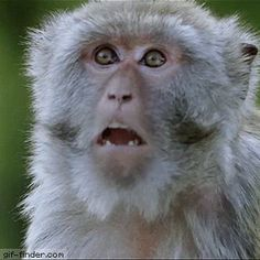 The perfect Baboon Monkey Shocked Animated GIF for your conversation. Discover and Share the best GIFs on Tenor. Funny Animal Pictures, Cute Funny Animals, Monkey Gif, Animal Intelligence, Animiertes Gif, Smile Gif, Gif Dance, Gato Gif, Love Is Comic