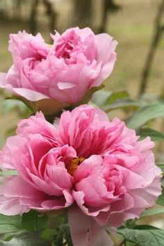 Peonies are the epitome of the 15 minute flower. But that makes them more irresistible.