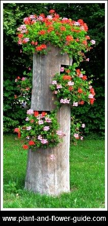 Old tree stump planter! What a nice idea to display ivy pelargoniums geranium-pelargonium.