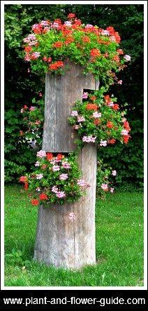 Old tree stump planter! What a nice idea to display ivy pelargoniums geranium-pelargonium.