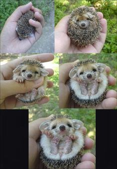 ERMAHGERD ERT'S A BERBERH HERDGHERG!!!   (OMG it's a baby hedgehog!)