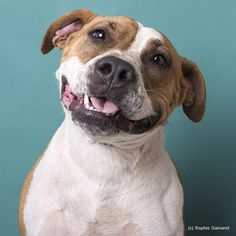 Meet Maybelle, an adoptable American Staffordshire Terrier looking for a forever home. If you're looking for a new pet to adopt or want information on how to get involved with adoptable pets, Petfinder.com is a great resource.
