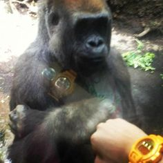 Ok - not a chimp but - pretty awesome and gentle gesture.