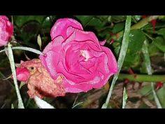 Płatki Róży Owoce Koniecznie Zbierajcie Teraz! - YouTube Flowers, Youtube, Plants, Plant, Royal Icing Flowers, Flower, Youtubers, Florals, Youtube Movies