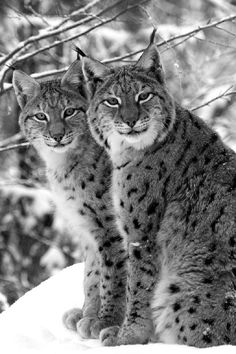Lynx brothers